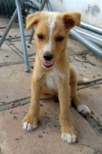Canca is a male fluffy podenco puppy looking for a loving home