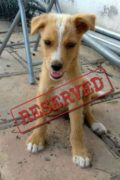 RESERVED: CANCA – Fluffy Podenco mix puppy