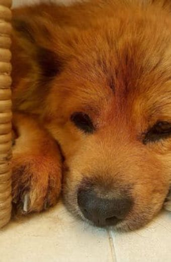 Cooper – friendly Chow Chow has fended for himself for 6 years