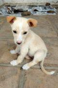 CORA - dulce cachorro de mezcla hembra Podenco busca amoroso hogar