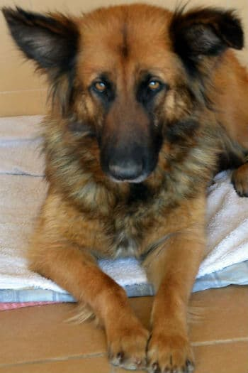 Frieda, beautiful female Belgium Shepherd seeks loving home
