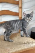 Moojjii – male tabby kitten needs a loving home