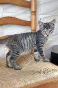 Moojjii - gatito macho atigrado necesita un hogar amoroso