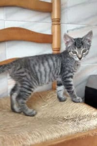 Moojjii, male tabby kitten seeks loving home