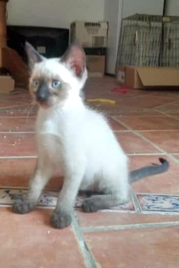 Shiva male siamese kitten seeks loving home