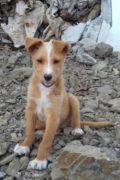 TROY - El perrito mullido Podenco Mix busca su hogar para siempre