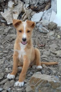 Troy, male fluffy Podenco pup seeks loving home