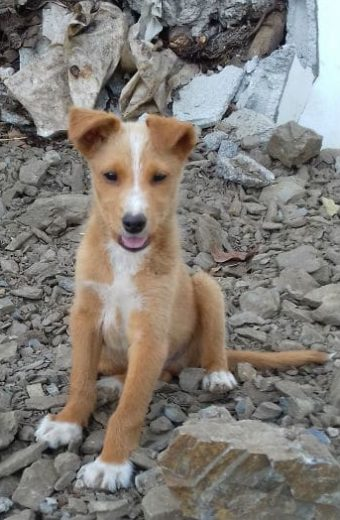 TROY – Fluffy Podenco mix puppy seeks forever home
