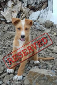 Troy fluffy Podenco puppy reserved