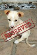 RESERVED: CORA – sweet female Podenco mix puppy seeks loving home