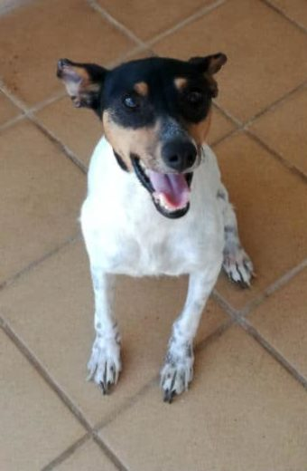 Angel – female Bodeguero abandoned in the campo needs a loving home