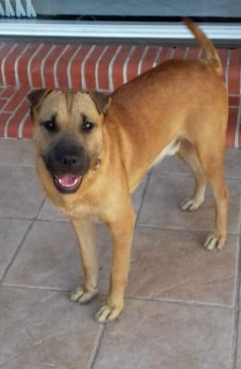 Bruno – 3 year old Sharpei mix looking for a new home