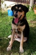 Curro – male Mastín GSD cross seeks new forever home