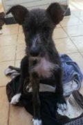 Louise - cachorro de mezcla de Podenco mullida hembra