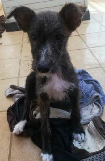 Louise – female fluffy Podenco mix puppy