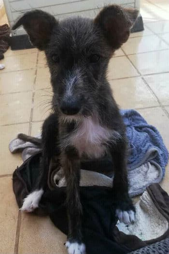 Louise female fluffy Podenco puppy seeks new home