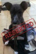 RESERVED: Louise – female fluffy Podenco mix puppy