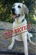 RESERVED: Rio – Male Pyrenean Mastiff puppy found by the river