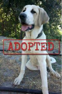 Rio, el cachorro Mastiff encontrado junto al río ahora adoptado