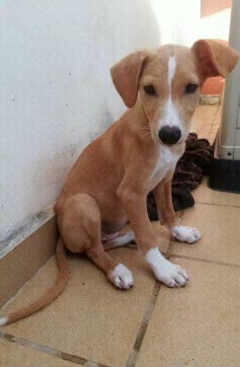 Telma – female fluffy Podenco mix puppy