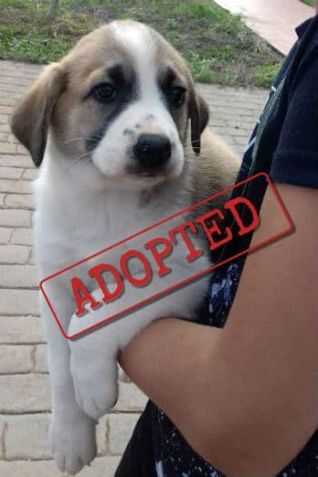 Ariel Mastín Cachorro adoptado.
