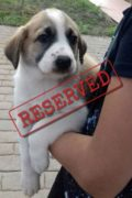 RESERVED: Ariel – Female Mastín pup looking for a home