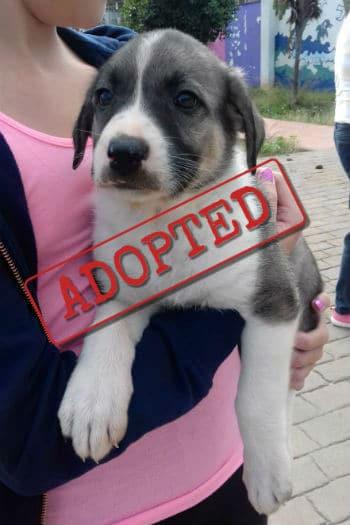 Aurora, cachorro de mastín adoptado en España.