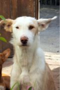 Bonzo – large, male, wire-haired podenco looking for a home