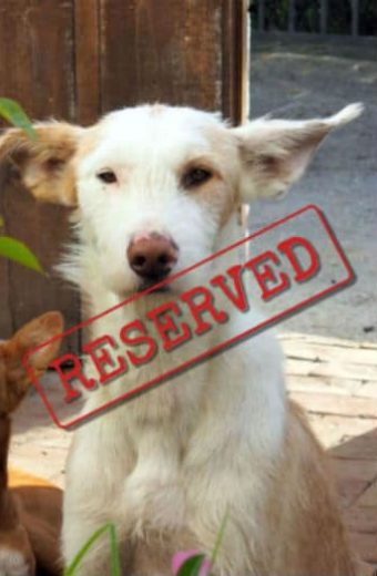 RESERVED: Bonzo – large, male, wire-haired podenco looking for a home