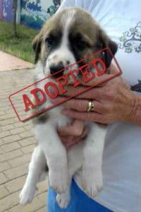 Jasmine mastín puppy adopted
