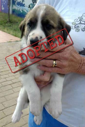 Jasmine mastín cachorro adoptado.