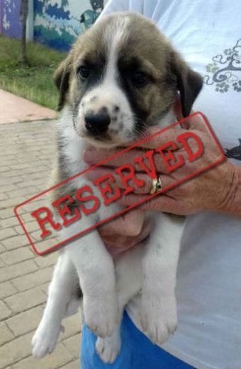 RESERVED Jasmine – Female Mastín pup looking for a home