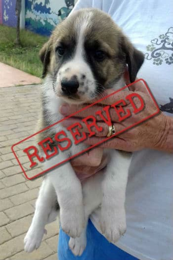Jazmín, hembra cachorro de mastín reservado para adopción.