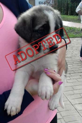 Tiana mastín cachorro adoptada.