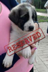 Tiana Mastín puppy, reserved for adoption.