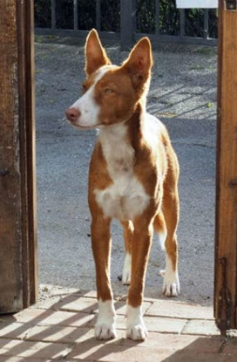 TIMI – young male Podenco looking for a home