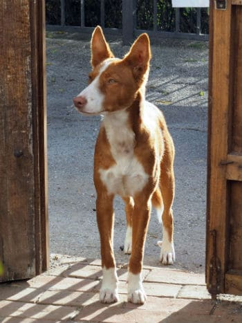 Timi young male podenco seeks forever home
