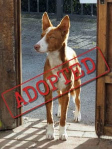 Podenco Timi adopted