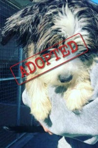 Amelia, miniature Old English Sheepdog, adopted in Spain