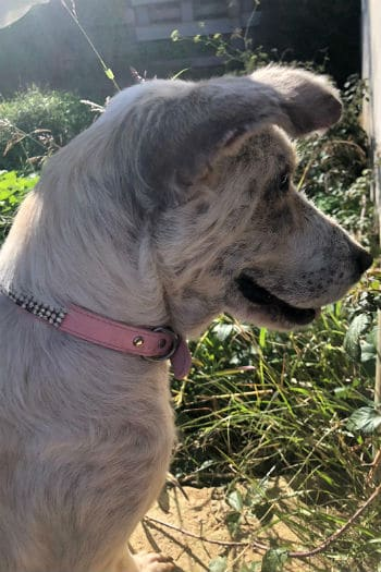 Diana, female podenco mix needs forever home