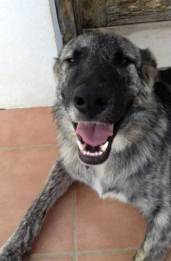 Jordy – Male Mastín Shepherd mix looking for a forever home
