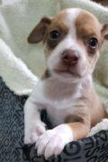 Bowie - cachorro macho pronto estará listo para su adopción