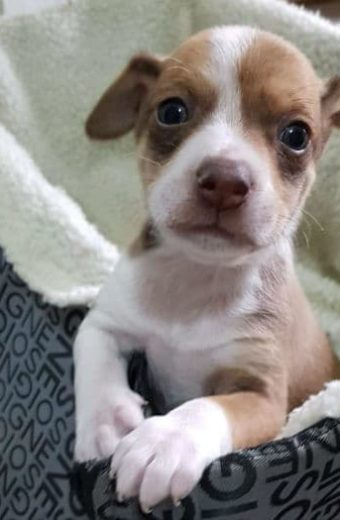 Bowie – male puppy will soon be ready for adoption