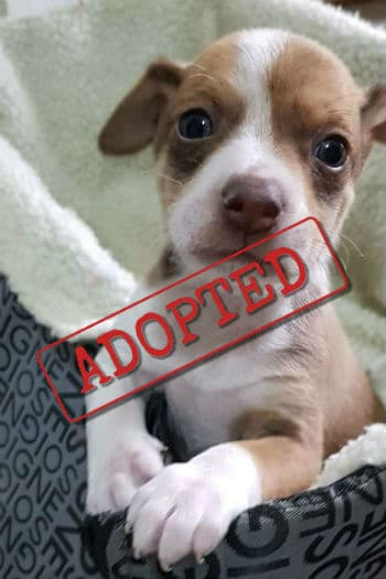 Bowie sweet puppy adopted