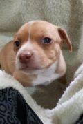 Lulu - cachorro hembra pronto estará listo para su adopción