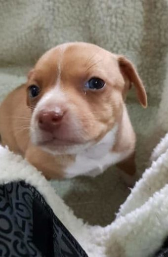 Lulu – female puppy will soon be ready for adoption