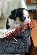 RESERVADO: Marley - cachorro macho pronto se dirigirá a su nuevo hogar para siempre
