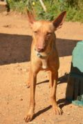 Red – Playful Podenco boy needs a home