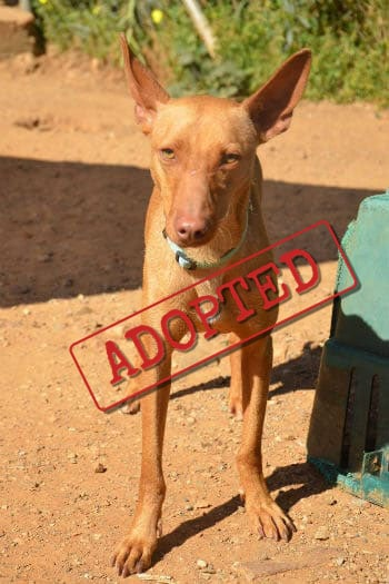 Red adopted Podenco