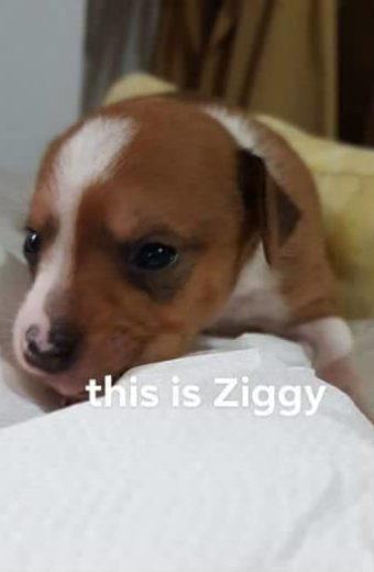 Ziggy – female puppy will soon be ready for adoption